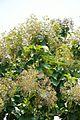 Fruits and Leaves - Tectona Grandis - Hijli - West Midnapore 2015-09-28 4159.JPG