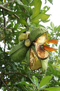 Fruits of Cola nitida.JPG