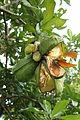 Fruits of Cola nitida.JPG