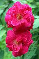 Fully bloomed rose Flower (Rajbiraj, Nepal) -2015-08-31.JPG