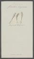 Furcularia longicauda - - Print - Iconographia Zoologica - Special Collections University of Amsterdam - UBAINV0274 101 04 0007.tif