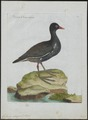 Gallinula chloropus - 1790-1796 - Print - Iconographia Zoologica - Special Collections University of Amsterdam - UBA01 IZ17500193.tif