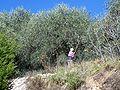 120px-Gaulage-olives.JPG