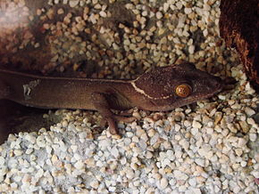 Description de l'image Gekko vittatus (Wroclaw zoo).JPG.