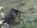 Gelada Baboon, Debre Libanos, Ethiopia - panoramio.jpg