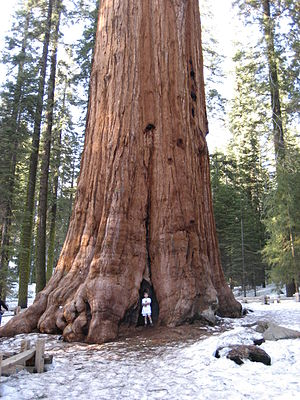 General Sherman (tree) - A child standing under the tree.