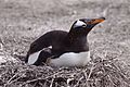 Gentoo Penguin on a nest (4313131492).jpg
