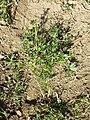 Geranium dissectum sl21.jpg