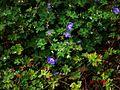 Geranium wallichianum Buxton's Blue - Flickr - peganum.jpg