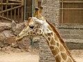Giraffa camelopardalis - Giraffe - Girafe - Oasis Park - 05.jpg