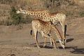 Giraffe, Giraffa camelopardalis at Mahone Loop, Punda Maria, Kruger National Park, South Africa (20199270123).jpg