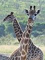 Giraffe (2875302888).jpg