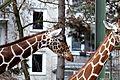 Giraffe Koelner Zoo 03.JPG