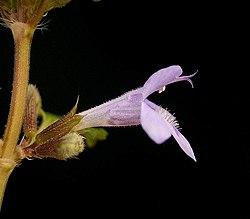 Glechoma hederacea1 ies.jpg