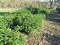 Gliricidia sepium, James Cook Uni, Townsville, Queensland, Australia 2014-08-09 10-17.jpg