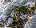 Globularia cordifolia PID1179-1.jpg