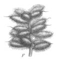 Glycyrrhiza echinata Taub121c.png