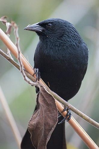 Chopi blackbird - Image: Gnorimopsar chopi Iguazu National Park Argentina 8