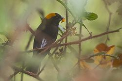 Golden-naped Finch (Male) Pangolakha Wildlife Sanctuary East Sikkim India 15.05.2016.jpg