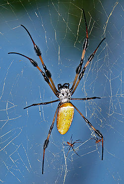 Golden-silk-spider.jpg