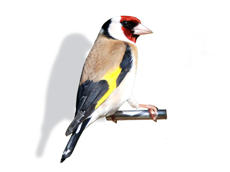 File:Goldfinch back.jpg