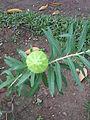 Gomphocarpus physocarpus - Jardin d'Éden 2.JPG