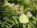 Gonepteryx aspasia (on Ligustrum tschonoskii).JPG