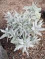 Gonospermum ptarmiciflorum kz1.JPG