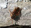 Gooden's Nomad Bee. Nomada goodeniana - Flickr - gailhampshire.jpg