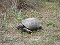 Gopher Tortoise 02, Reed Bingham State Park.JPG