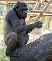 Gorila occidental (Gorilla gorilla), Tierpark Hellabrunn, Múnich, Alemania, 2012-06-17, DD 03.JPG