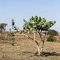 Gråbladig kronbuske-4.jpg