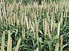 Grain millet, early grain fill, Tifton, 7-3-02