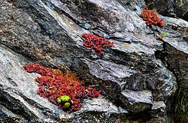 Granite cliff with pink jelly bean plant and common houseleek.jpg