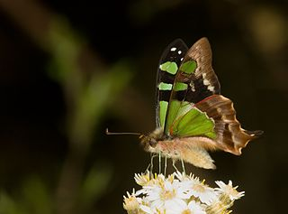 <i>Graphium</i> (butterfly) Genus of mostly tropical swallowtail butterflies