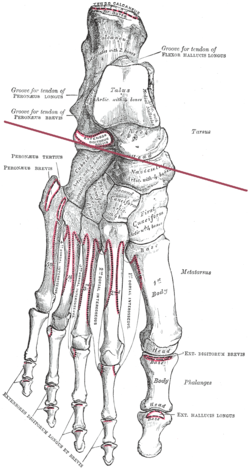 Diagram Of Joints In The Human Body | Transverse Tarsal Joint Wikipedia