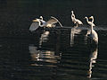 Great Egret (Casmerodius albus) takes off as others look at in Kolkata W IMG 4354.jpg