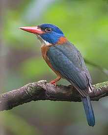 Green-backed Kingfisher (Male) cropped.jpg