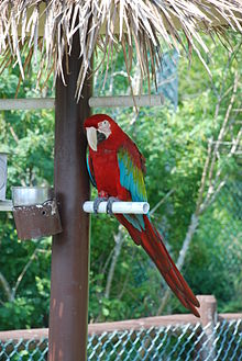 Green-winged Macaw (Ara chloroptera) -Maine -zoo.jpg