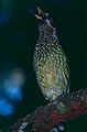 Green Catbird (Ailuroedus crassirostris) (10243919615).jpg