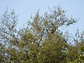 Green Pigeon.jpg
