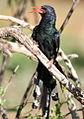 Green Wood Hoopoe, Phoeniculus purpureus, at Marakele National Park, Limpopo, South Africa (16156415439).jpg