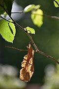 Green leaf - Brown leaf.jpg