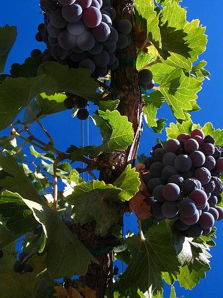 File:Grenache grapes on the vine.jpg