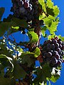 Grenache grapes on the vine.jpg