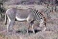 Grevy's Zebra (Equus grevyi) stallion grazing ... (48985605186).jpg