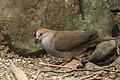 Grey-chested Dove - Rio Tigre - Costa Rica MG 7710 (26434929200).jpg