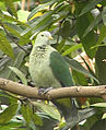 Grey-green fruit dove.jpg