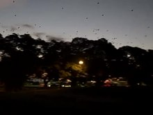 Fichier:Grey-headed flying foxes (Pteropus poliocephalus).webm
