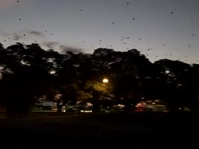File:Grey-headed flying foxes (Pteropus poliocephalus).webm